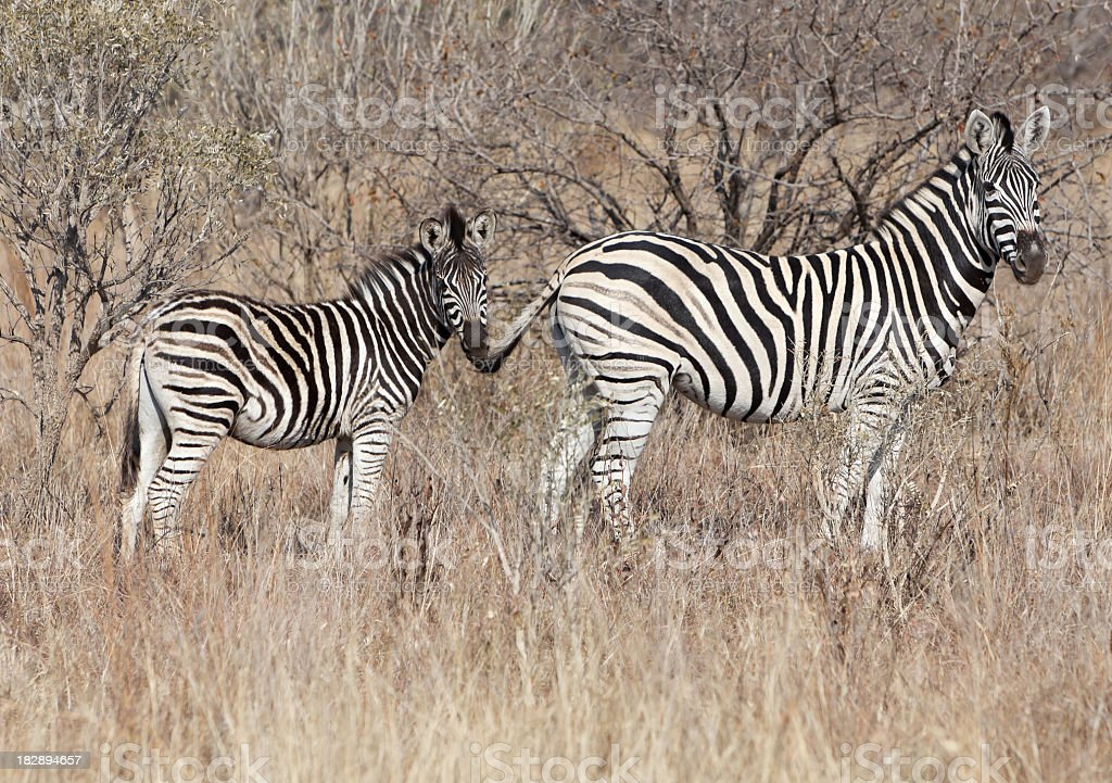 Zebra Mother and Young stock photo