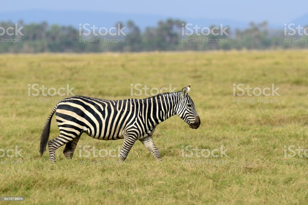Zebra on grassland in Africa stock photo