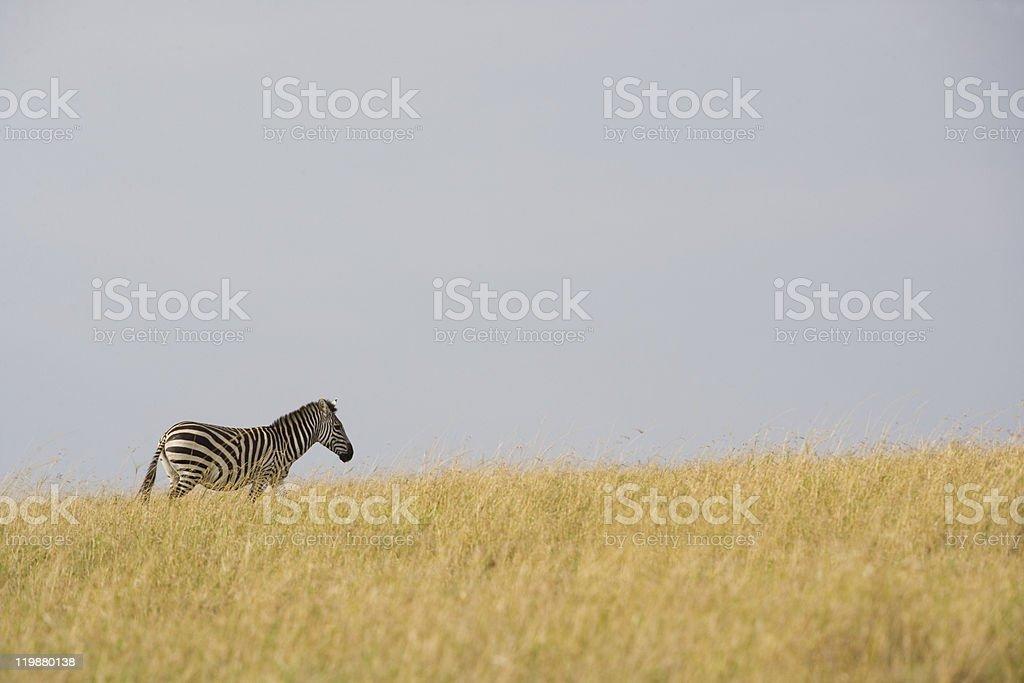 Zebra on the horizon in Kenya stock photo