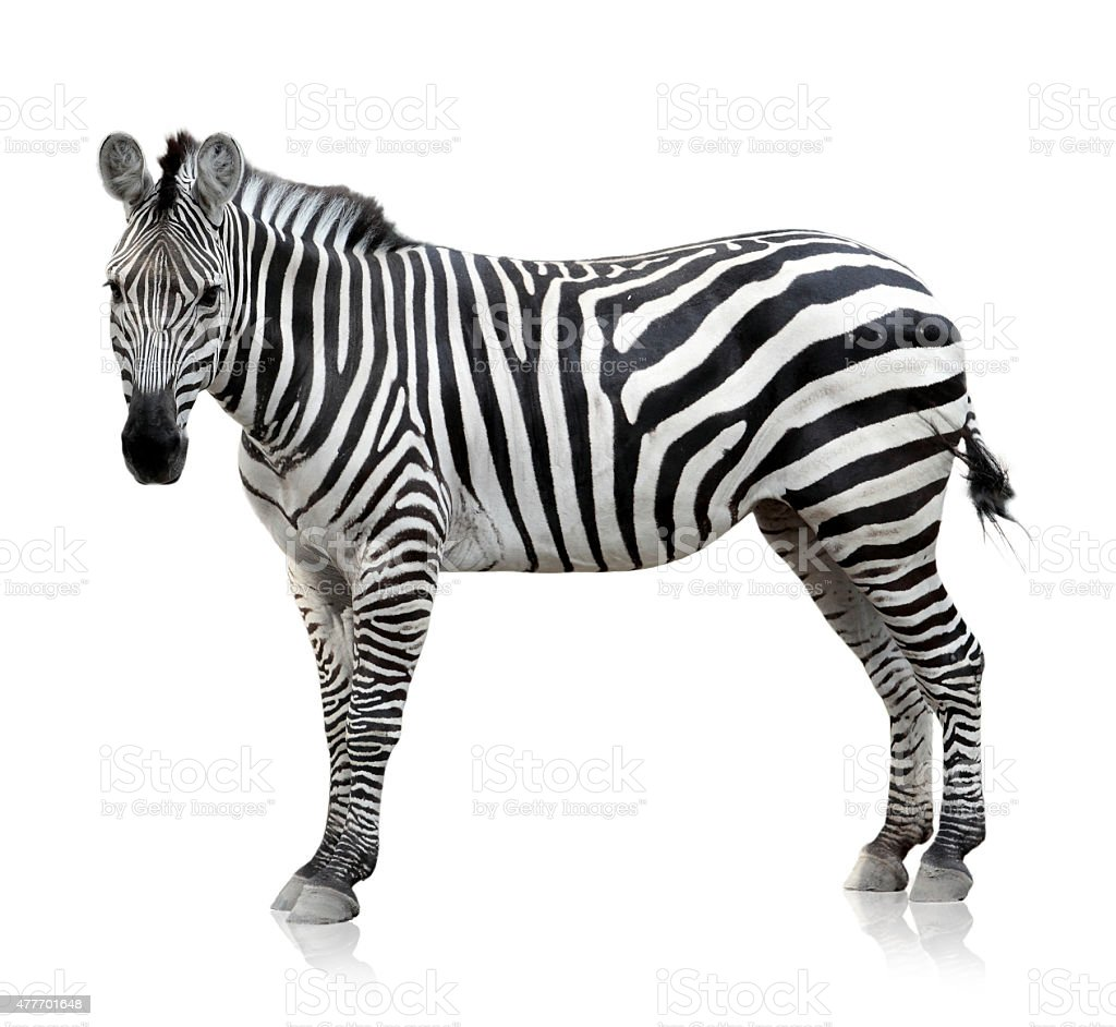 Zebra on white background stock photo