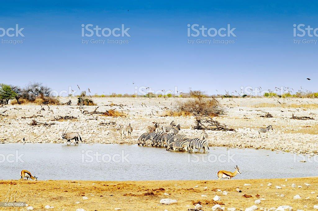 Zebra, oryx,impala and  birds at the waterhole,Namibia stock photo