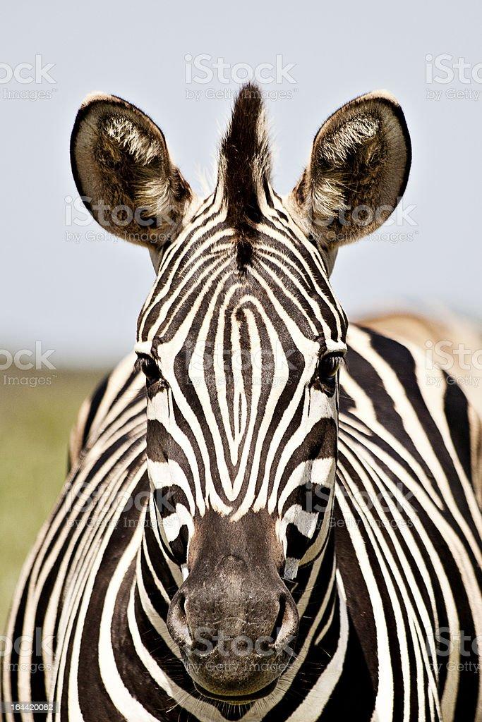 Zebra royalty-free stock photo