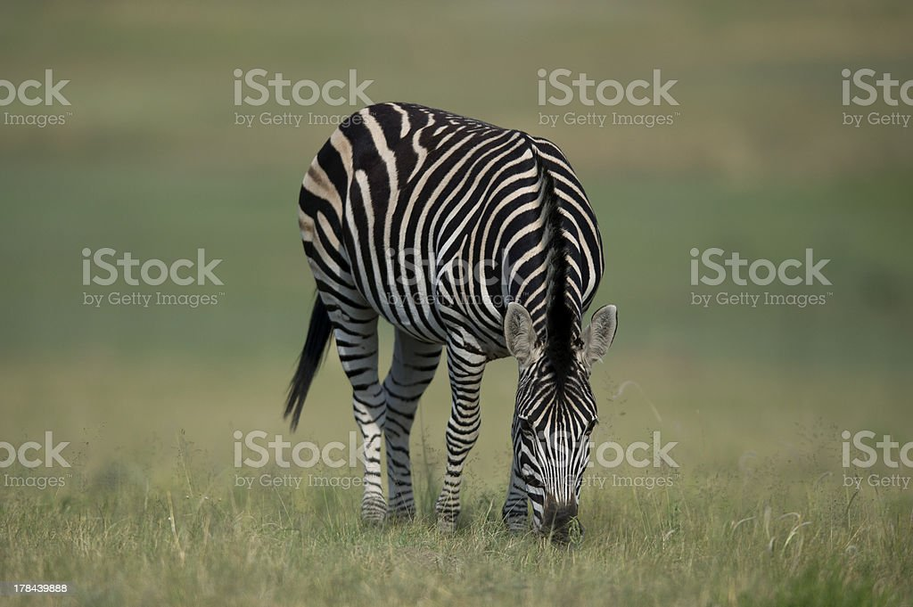 Zebra, royalty-free stock photo