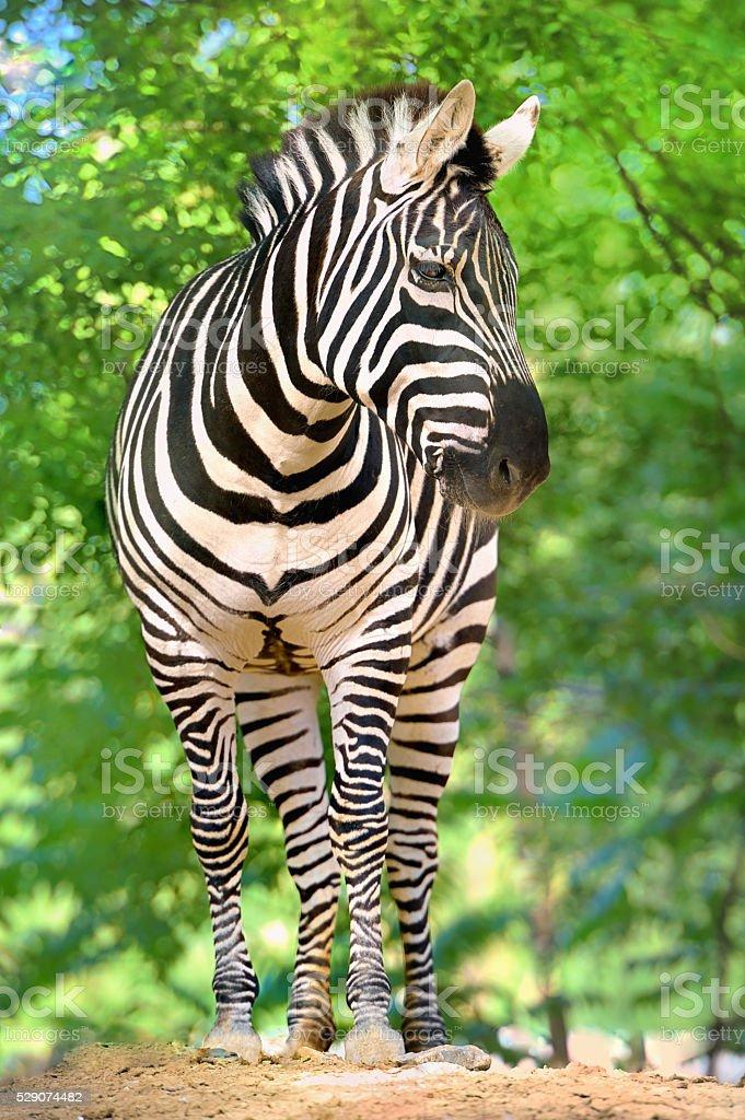 Zebra, stock photo