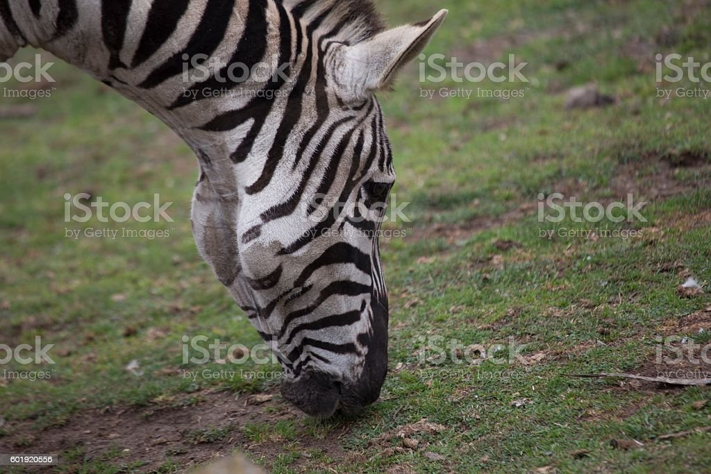 Zebra (Equus quagga) stock photo