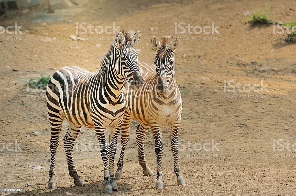 Zebra, stock photo