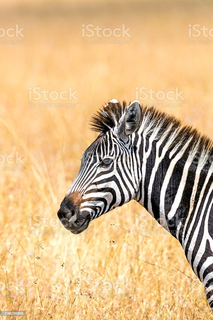 Zebra Portrait at Savannah stock photo