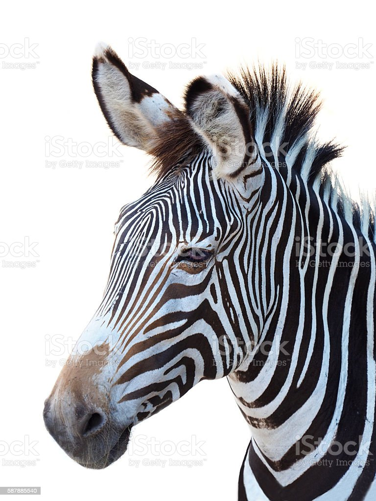 Zebra Portrait Isolated on White stock photo
