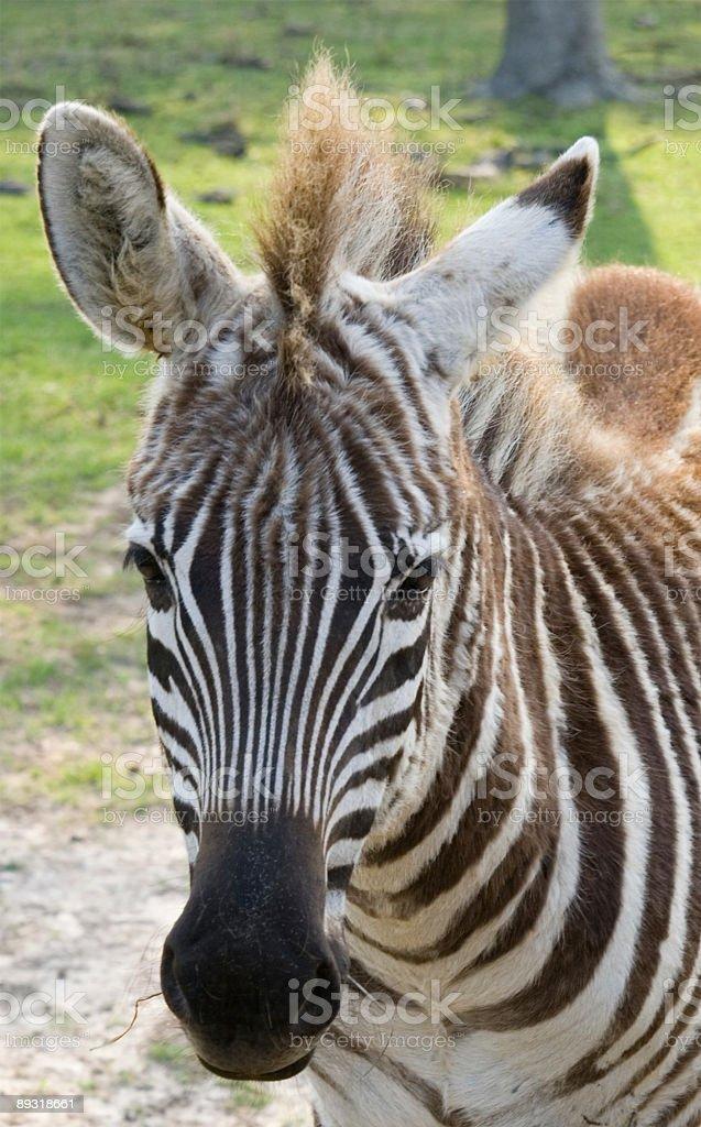 Zebra Portrait royalty-free stock photo