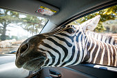 Zebra put his head in car and waiting food from
