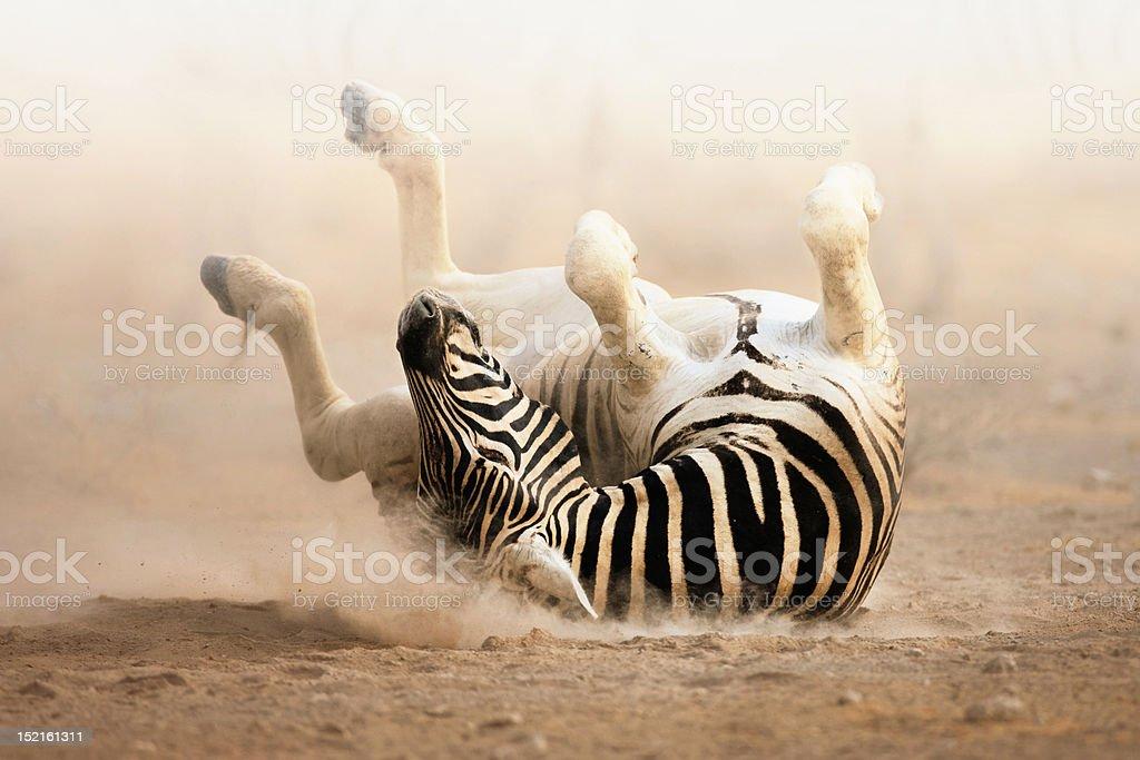 Zebra rolling royalty-free stock photo