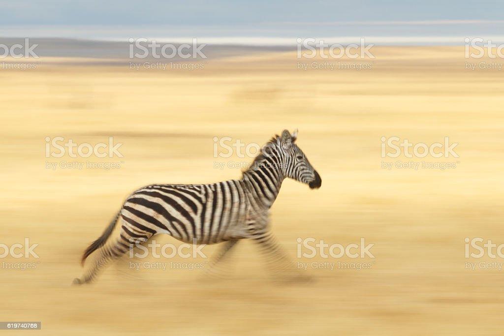 Zebra Running Across the Serengeti, Tanzania Africa stock photo