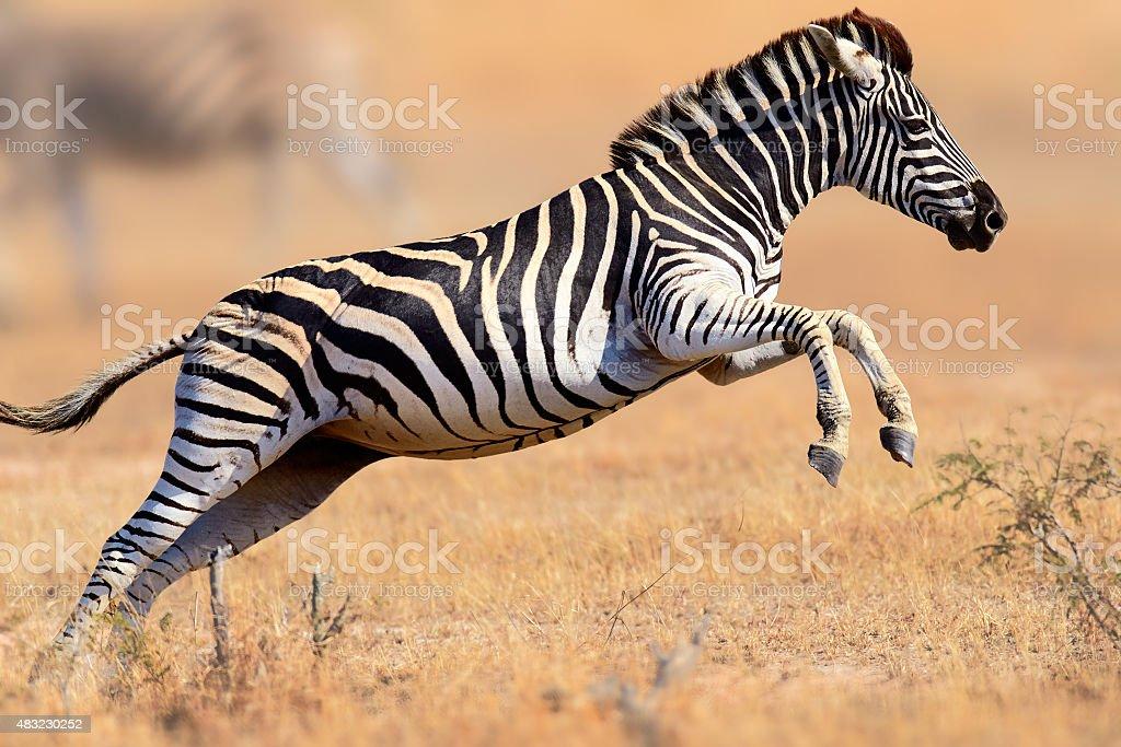 Zebra running and jumping stock photo