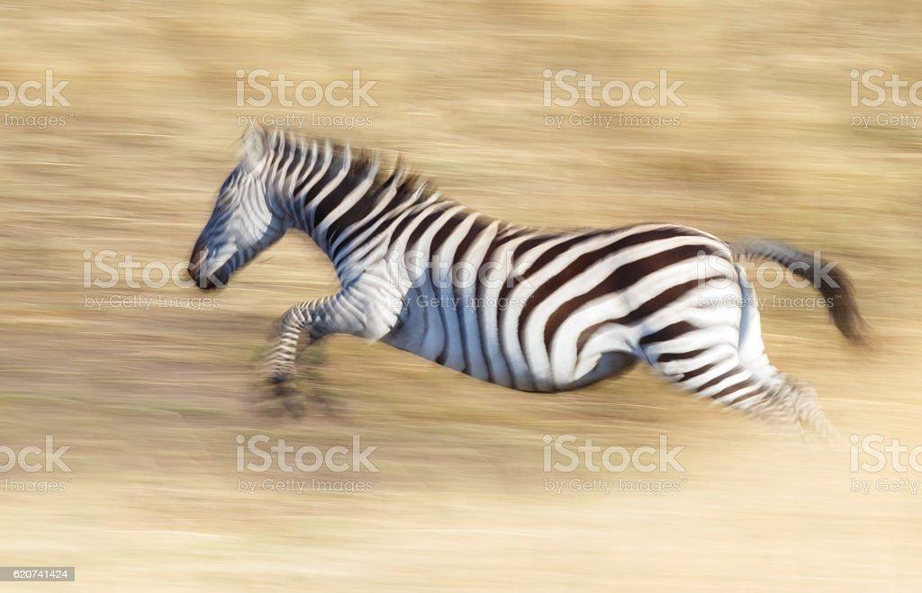 Zebra running through the Serengeti stock photo