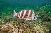 zebra seabream sargo breado diplodus cervinus dive underwater