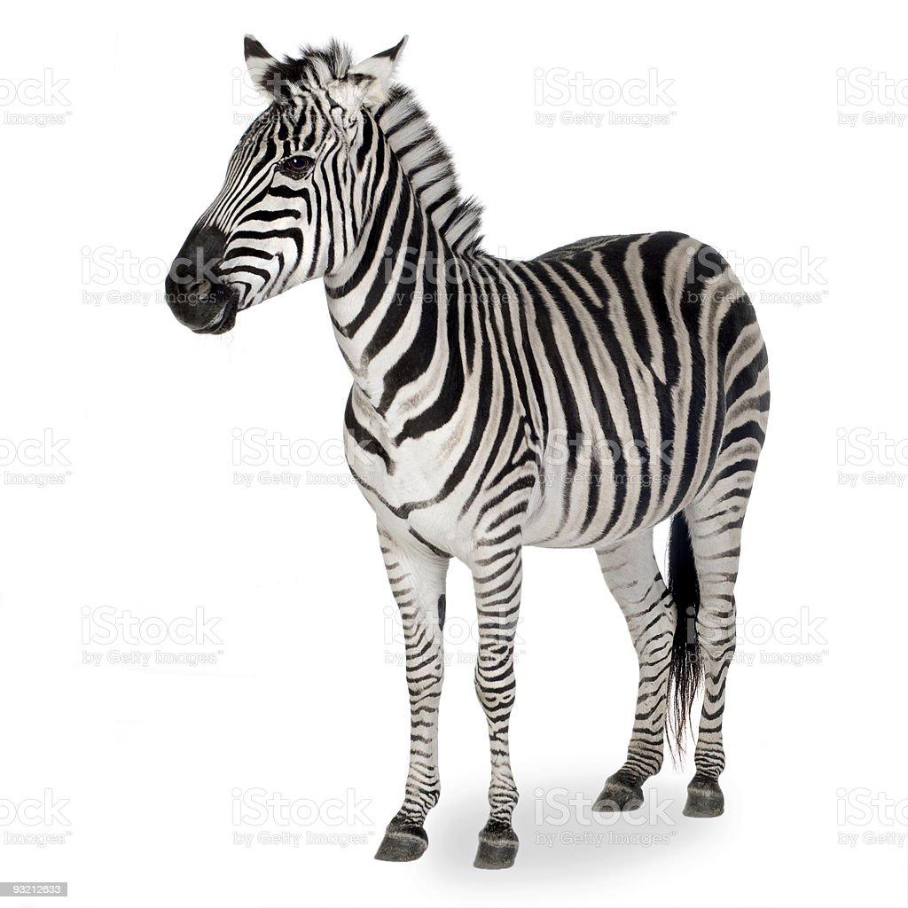 A zebra shown on a white background stock photo