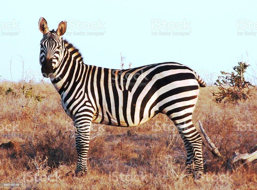 Zebra solitaria stock photo