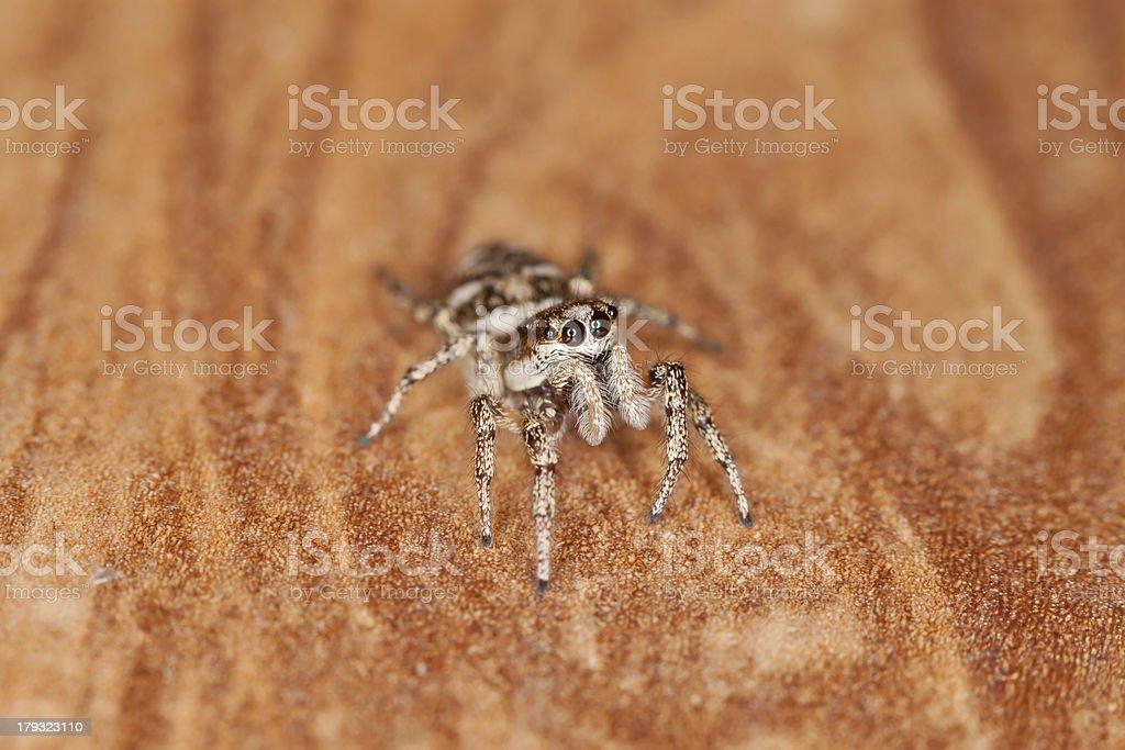 Zebra Spider royalty-free stock photo