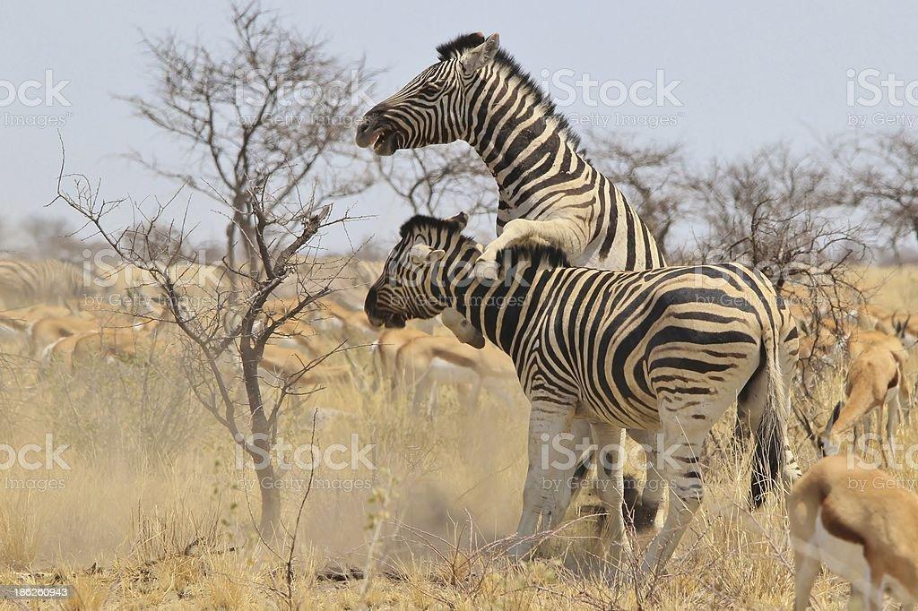 Zebra - Stallion fight and Wildlife background from Africa stock photo