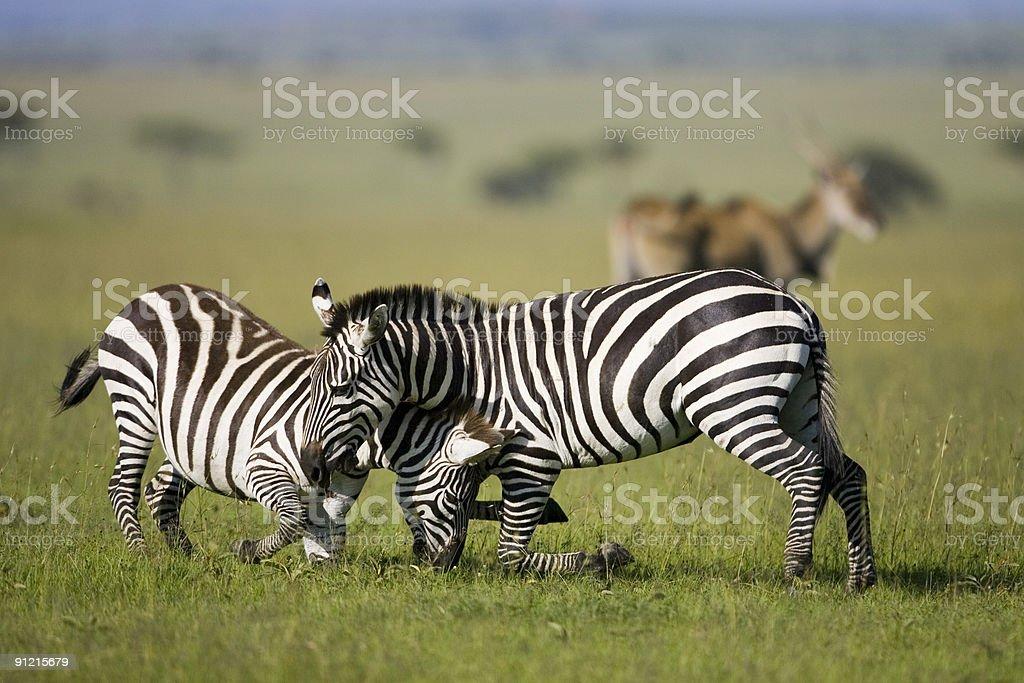 Zèbre stallions lutte sur le Mara plains photo libre de droits