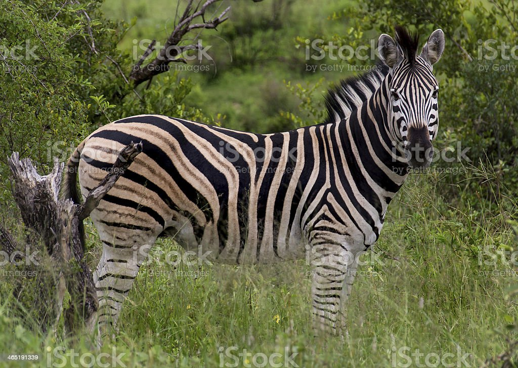 Zebra standing tall stock photo
