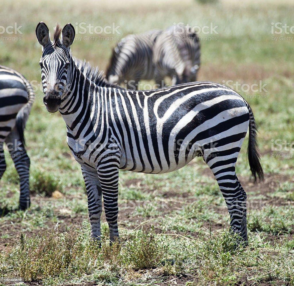 Zebra Stare stock photo