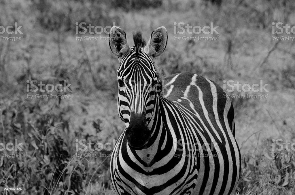 Zebra Staring Straight Ahead stock photo