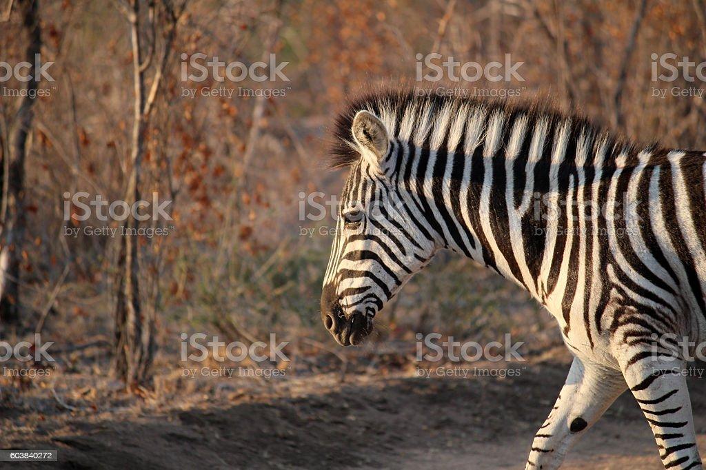 Zebra Stock image stock photo