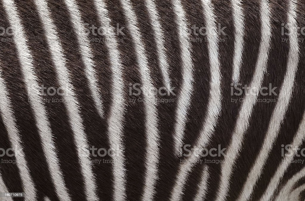 Zebra Stripes Close-up royalty-free stock photo