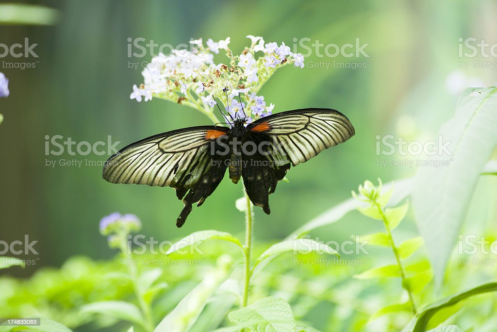 Zebra Swallowtail Butterfly royalty-free stock photo