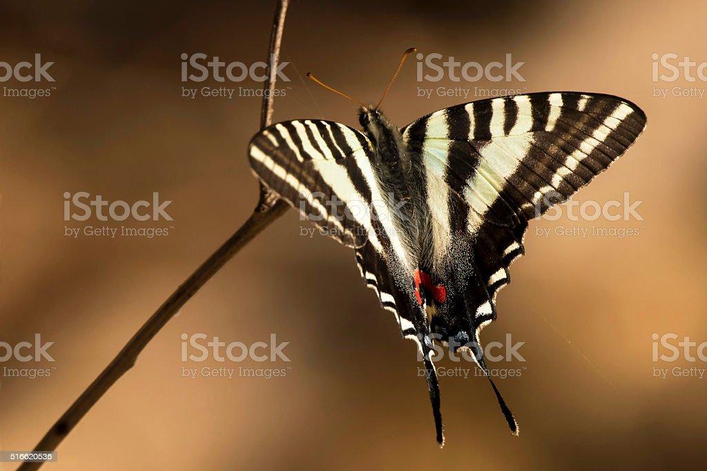 Zebra Swallowtail Butterfly stock photo