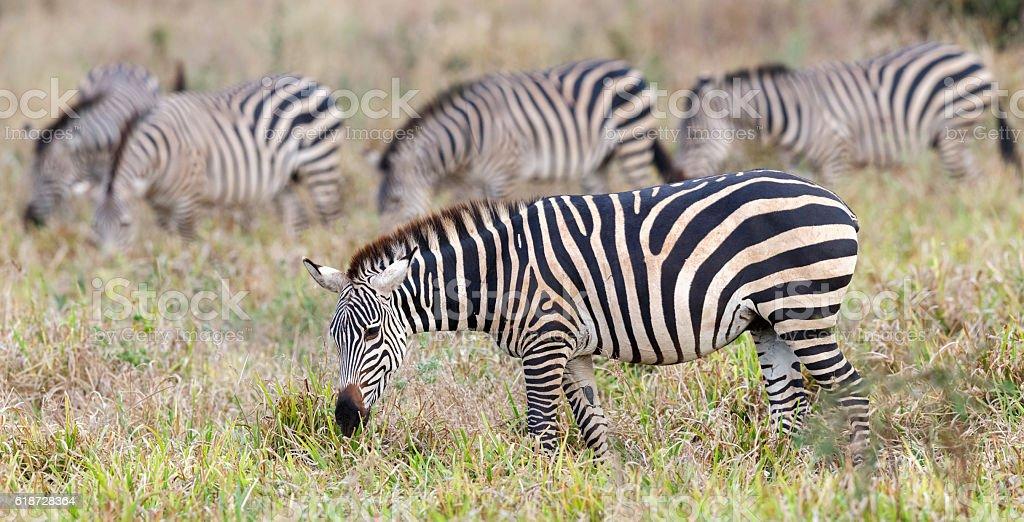 Zebra, Tarangire National Park, Tanzania Africa stock photo