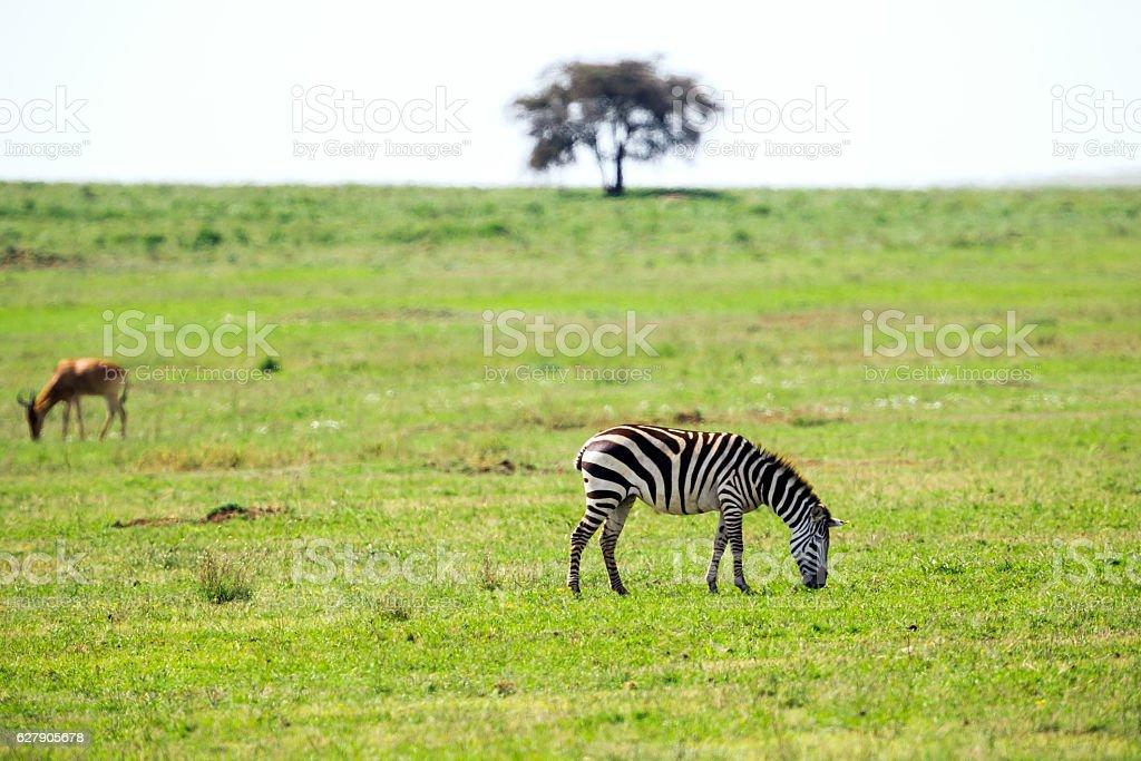 Zebra, Topi and Acacia Tree at Savannah stock photo