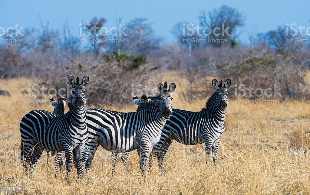 Zebra Trio stock photo