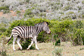 Zebra walking away from the tribe
