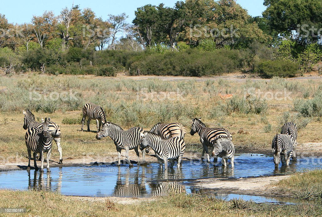 Zebra waterhole stock photo