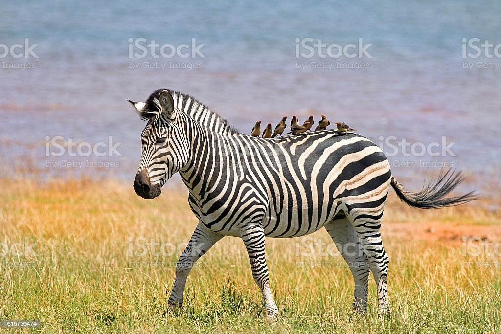 Zebra with eight oxpeckers on it's back stock photo