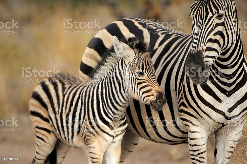 Zebra with her puppy at sunset stock photo
