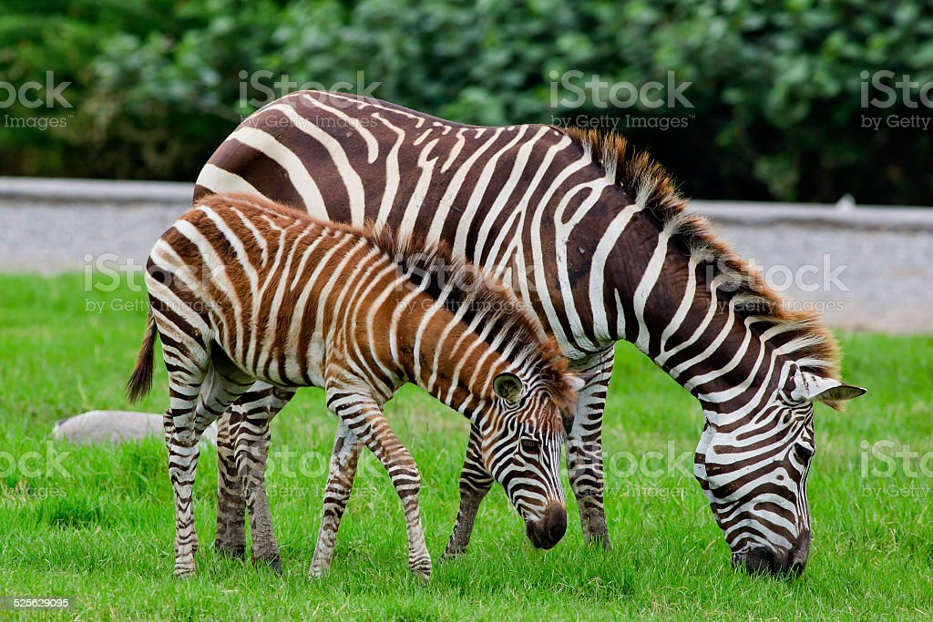 zebra with young one stock photo