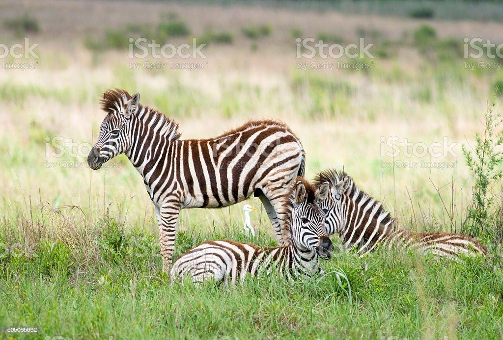 Zebra youth brigade stock photo