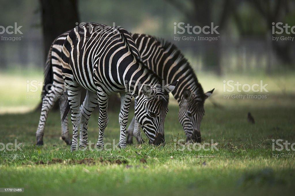 Zebra / Z?bre royalty-free stock photo