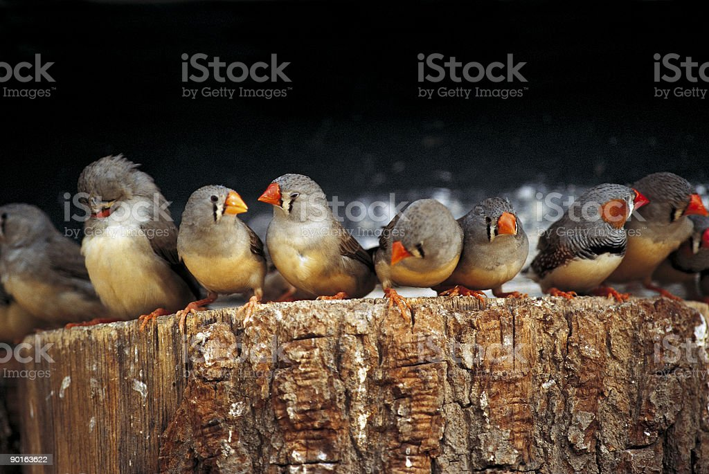 Zebrafinches Waiting In Line On A Tree Stump stock photo