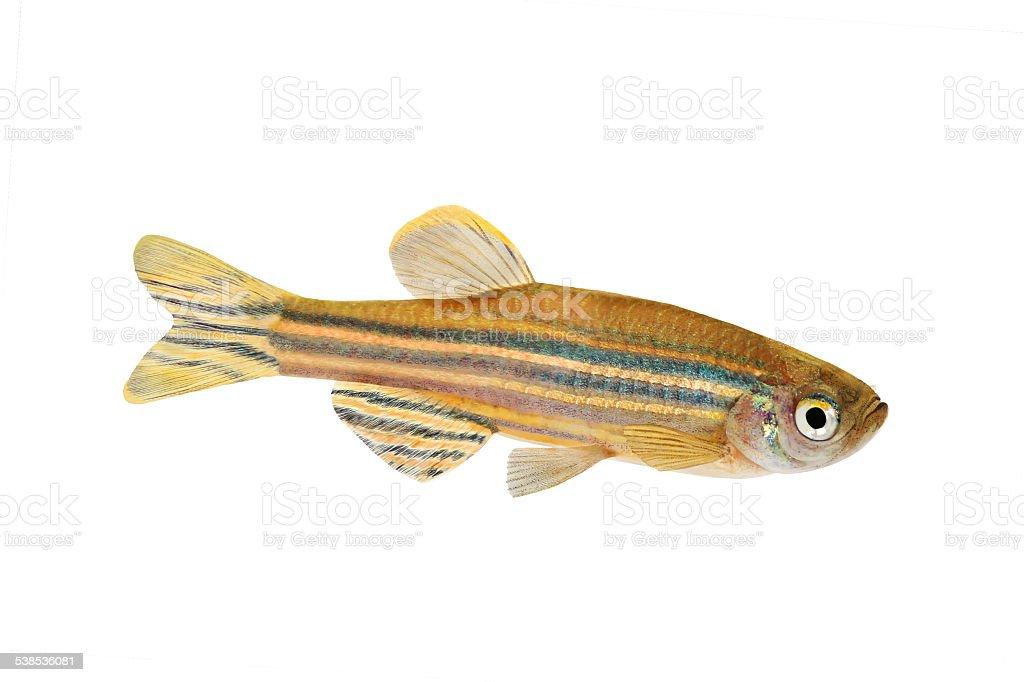 Zebrafish Zebra Barb Danio rerio freshwater aquarium fish isolated stock photo