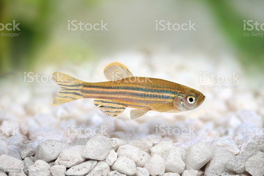 Zebrafish Zebra Barb Danio rerio freshwater aquarium fish stock photo