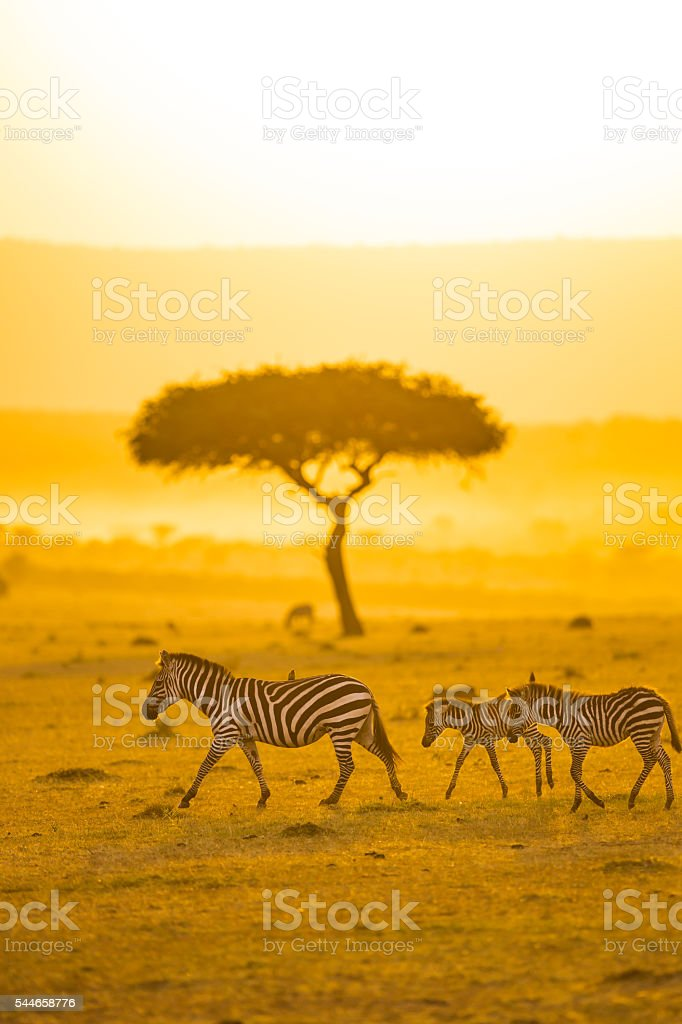 Zebras, Acacia tree and Africa Sun stock photo
