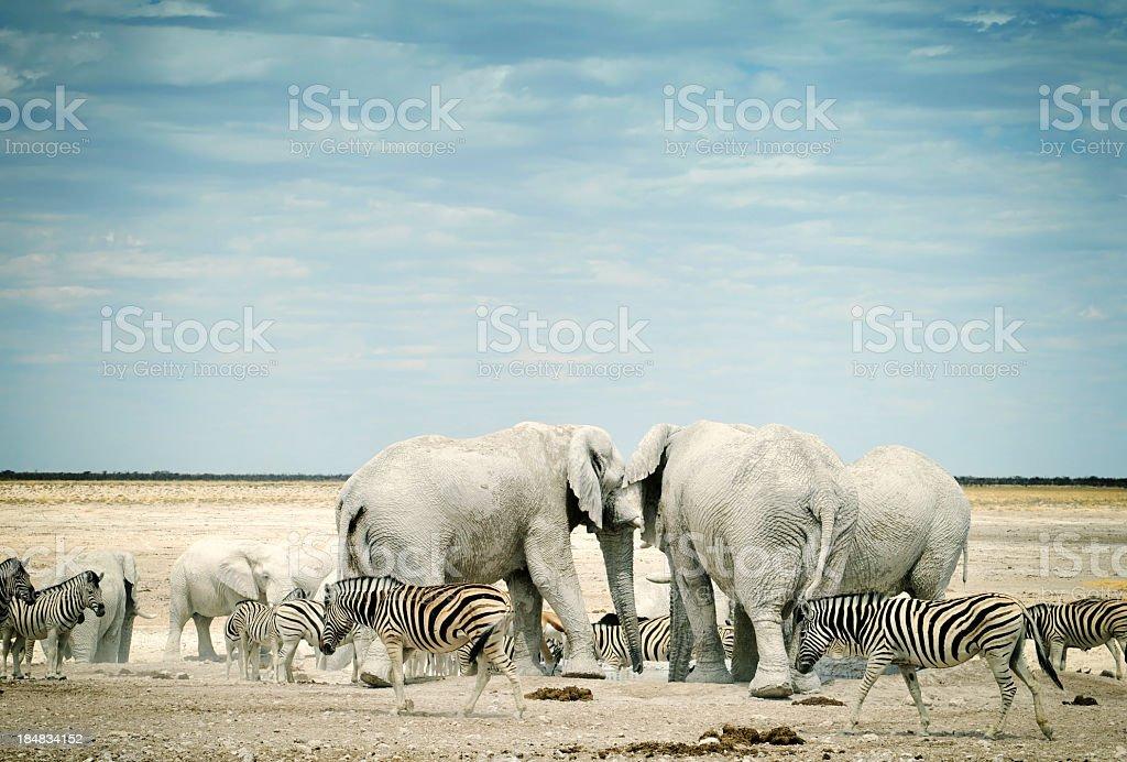 Zebras and African elephants in Etosha National Park, Namibia stock photo
