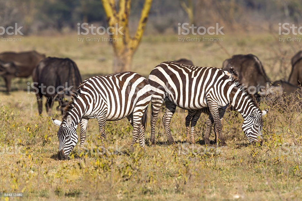Zebras and Buffalos stock photo