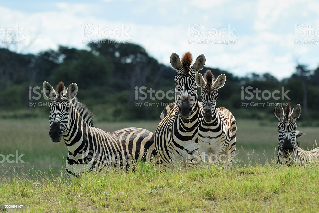 Zebras and foals stock photo
