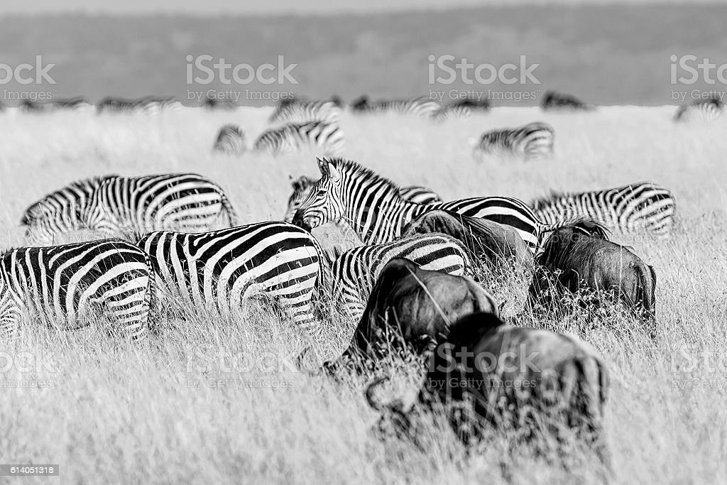 Zebras and Gnus Grazing at Savannah stock photo