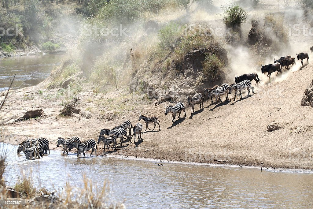 Zebras and Wildebeest Crossing the Mara River royalty-free stock photo